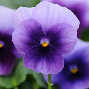 Viola Flower Garden Seeds - Sorbet F1 Series - Beaconsfield - 100 Seeds - Annual Flower Gardening Seeds