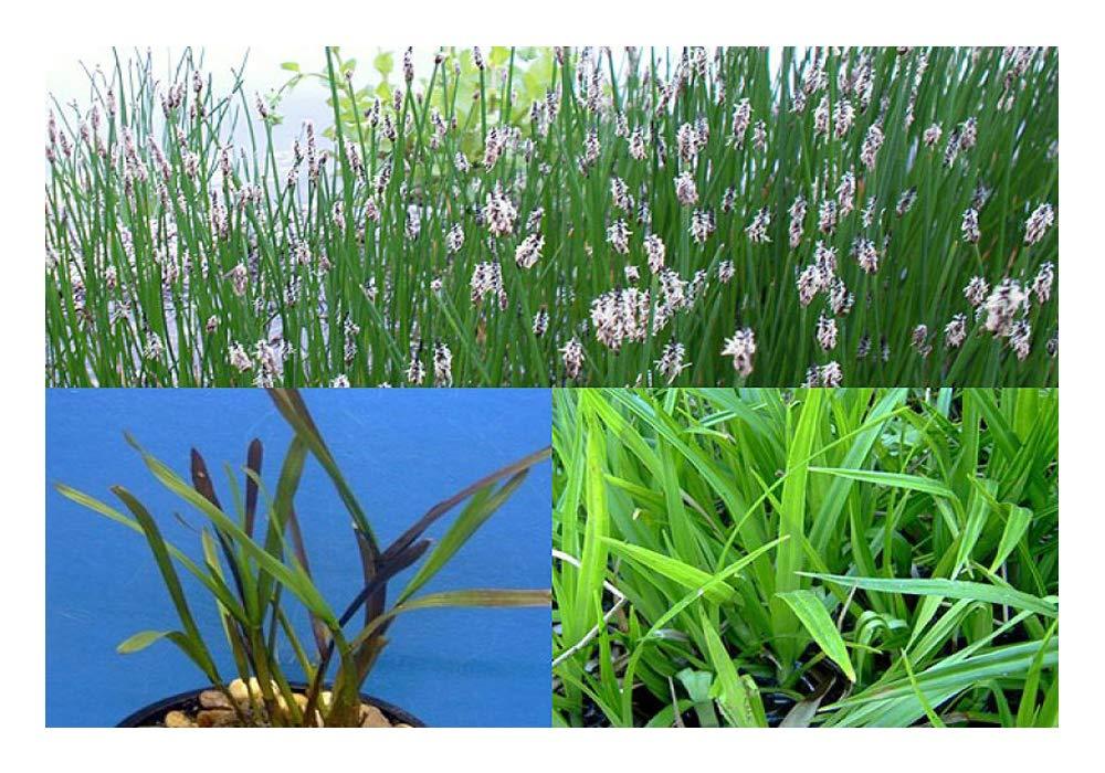 50 Stück Filterpflanzen Filterpflanzensortiment Teichpflanzen Teichpflanze
