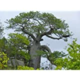 Asklepios-seeds® - 50 Samen Adansonia digitata, Afrikanischer Affenbrotbaum, Baobab