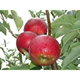 Jonathan Apple Tree Semi-Dwarf - Healthy - Established - One Gallon Trade Pot - 1 each by Growers Solution