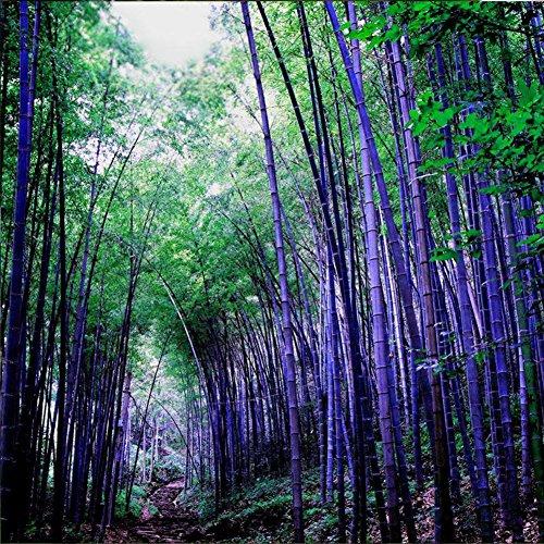 - 100Pcs Purple Timor Bamboo Flower Tree Seeds Home Ornamental Garden Decor