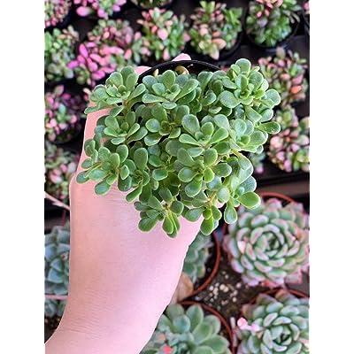 """AchmadAnam - Live Plant - 2.5"""" Aeonium Lindleyi VAR. Viscatum Irish Bouquet. E12 : Garden & Outdoor"""