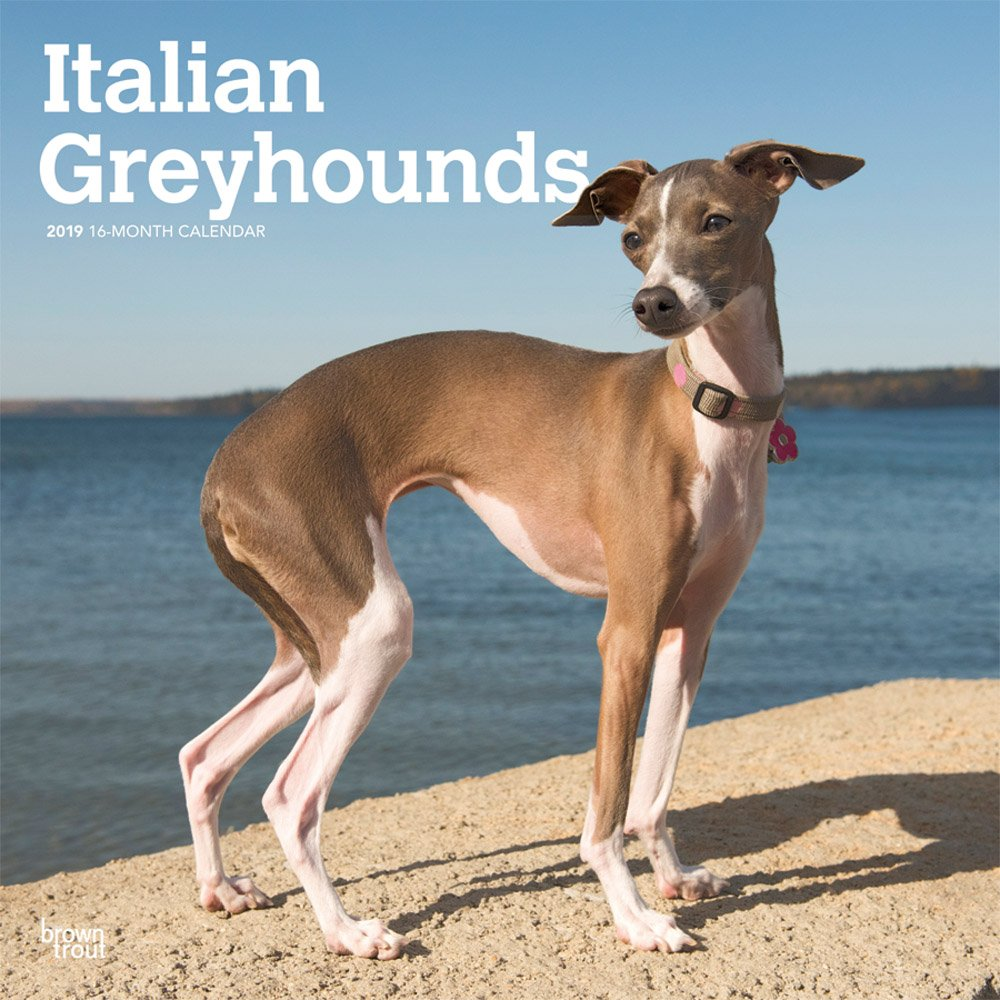 Italian Greyhounds 2019 12 x 12 Inch Monthly Square Wall Calendar, Animals Italian Dog Breeds (Multilingual Edition) (Multilingual) Calendar – Wall Calendar, June 1, 2018 Inc. BrownTrout Publishers 1975402634 General Reference
