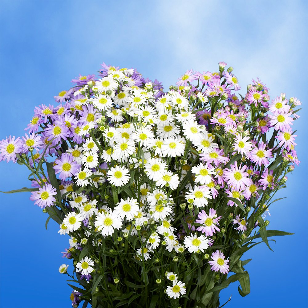 GlobalRose 240 Blooms of Assorted Asters Color Flowers 60 Stems - Fresh Flowers for Delivery