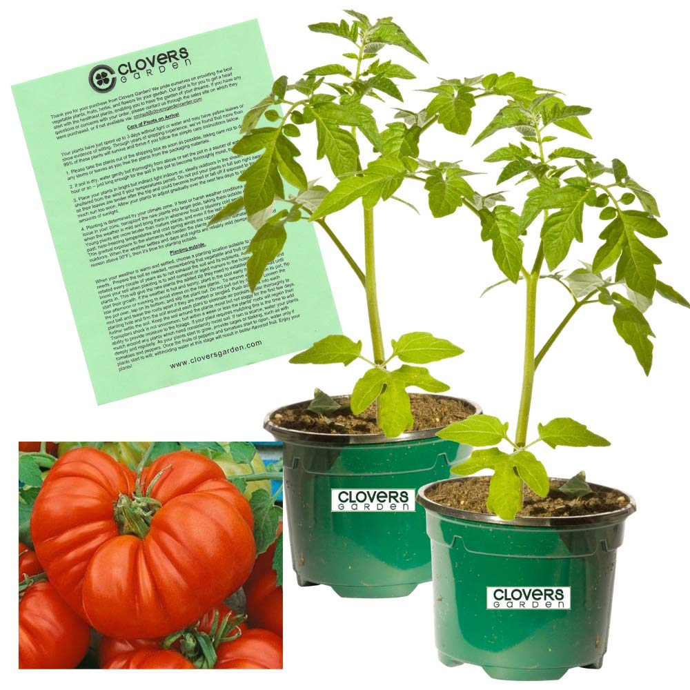 Beefsteak Tomato Plant -Two (2) Live Plants - Not Seeds -Each 5'' to 7'' Tall-in 3.5'' pots
