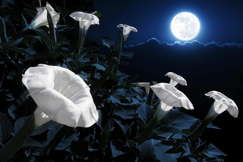 Amazon Com Cutdek Moon Flower Seeds Lot Of 15 Seeds