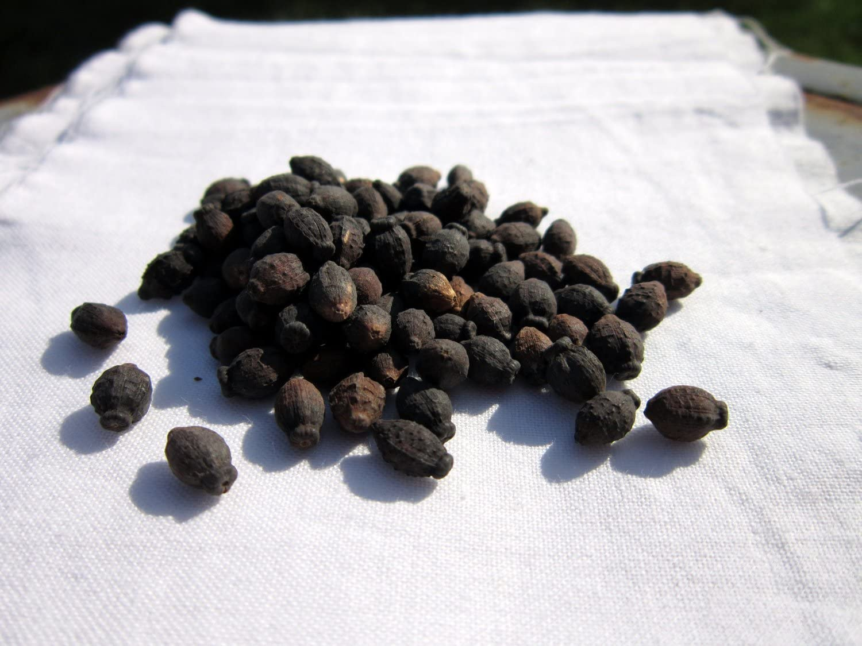Four Oclock Seeds