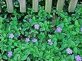 Myrtle 48 Plants - Periwinkle/Vinca - Hardy