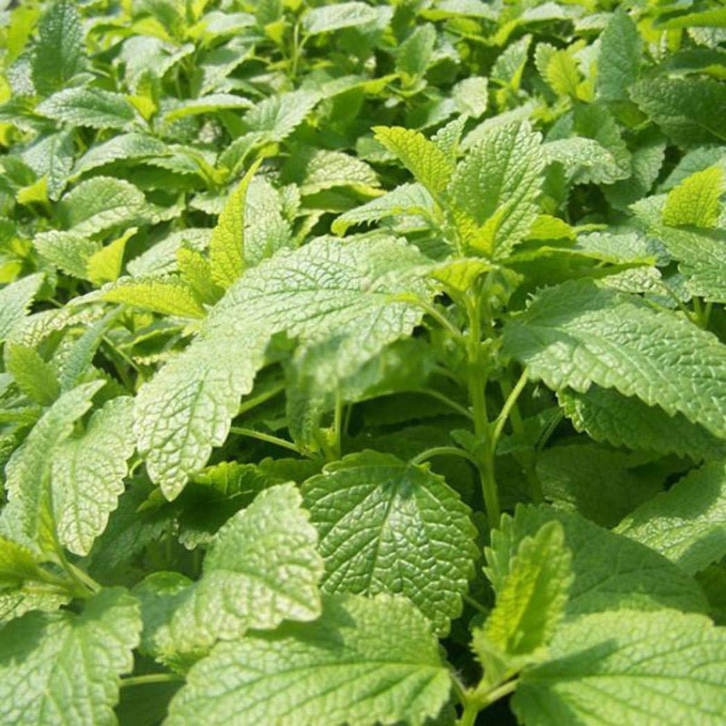 Kimchisxxv Paket Von 400 Samen Stevia Rebaudiana Samen Nat/üRliche S/ü/ßEre Pflanze Hausgarten Balkon Bonsai Decor 100/% Reine Lebende Samen Nicht Gvosamen