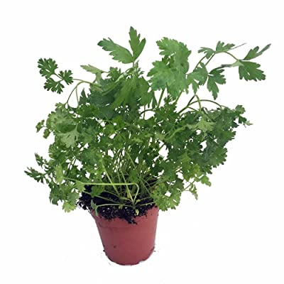 "Curly Leaf Parsley Herb - Petroselinum - Live Plant - 3"" Pot: Toys & Games"