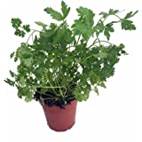 "Organic Curly Leaf Parsley Herb - Petroselinum - Live Plant - 4.5"" Pot"