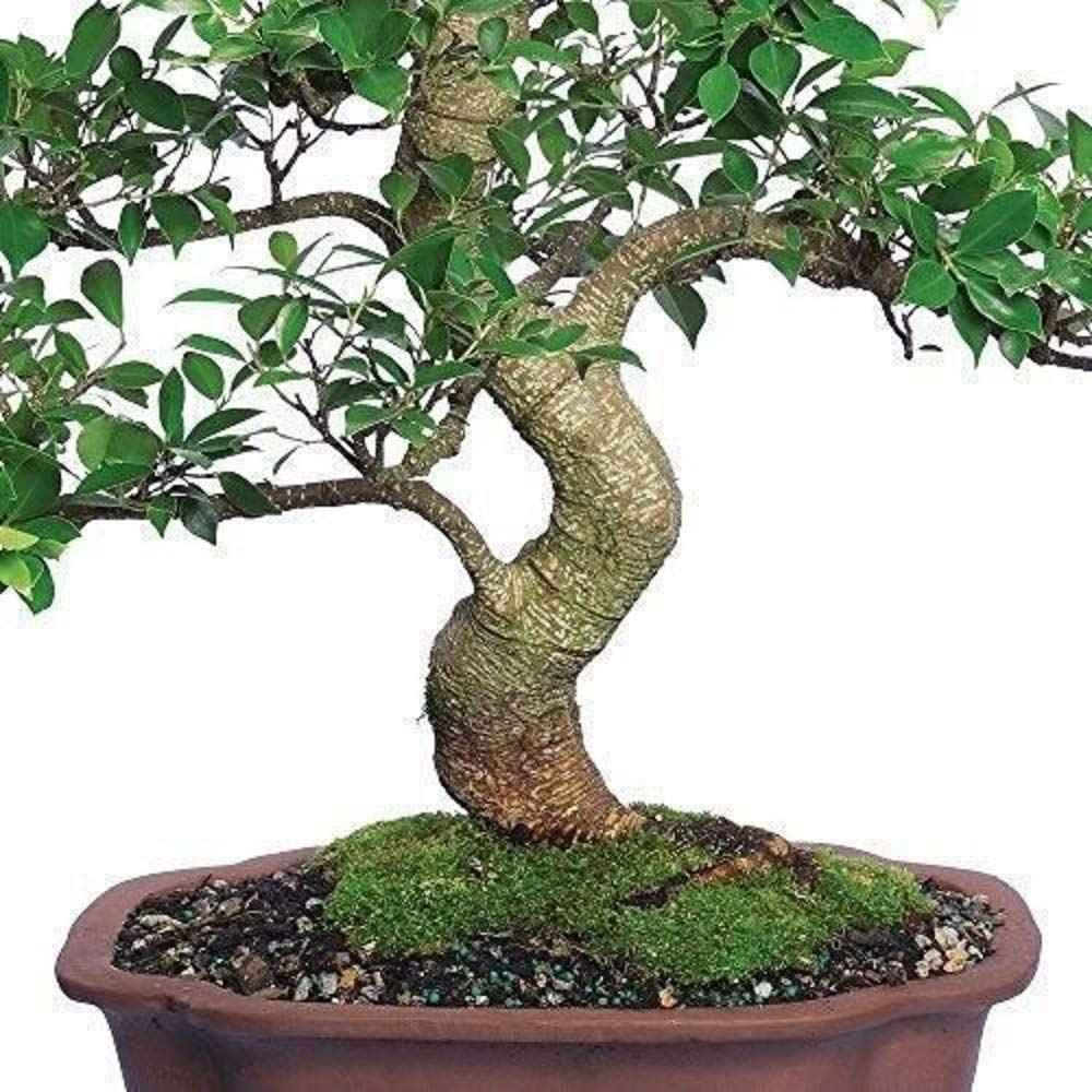 Ficus Bonsai Tree Plant Golden Gate Tropical Indoor Houseplant Best Gift 20 Year Plant A6 by owzoneplant (Image #2)
