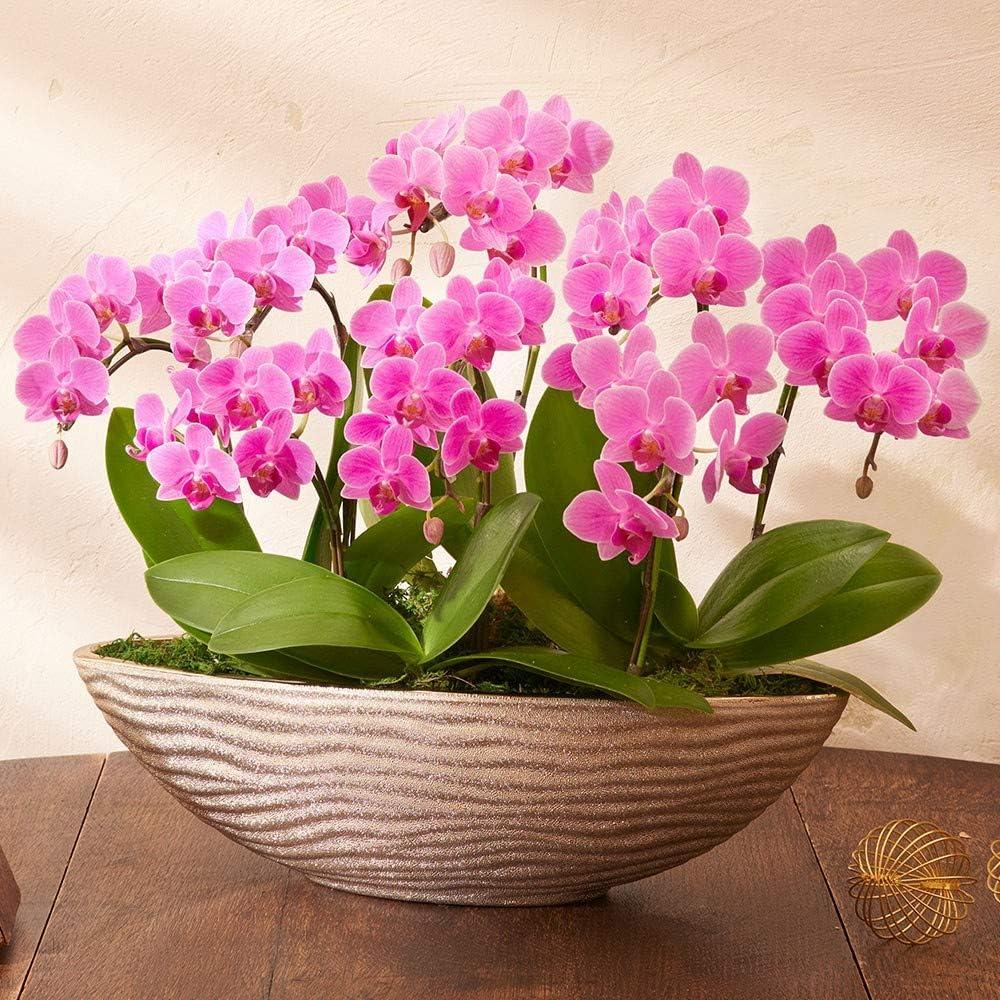 日比谷花壇 母の日 ラン鉢 ミディ胡蝶蘭(ピンク)8本立ち