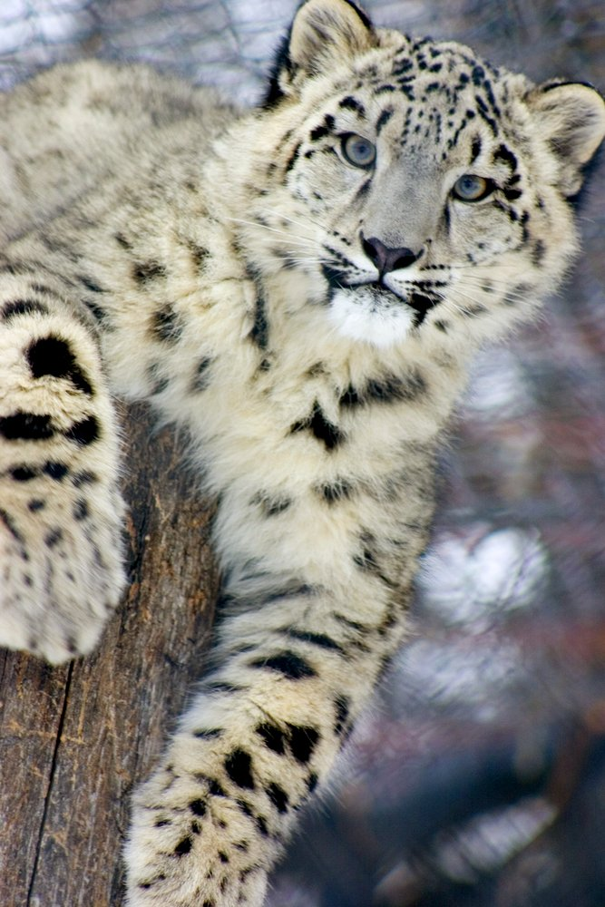 Snow Leopard (9x12 Art Print, Wall Decor Travel Poster)