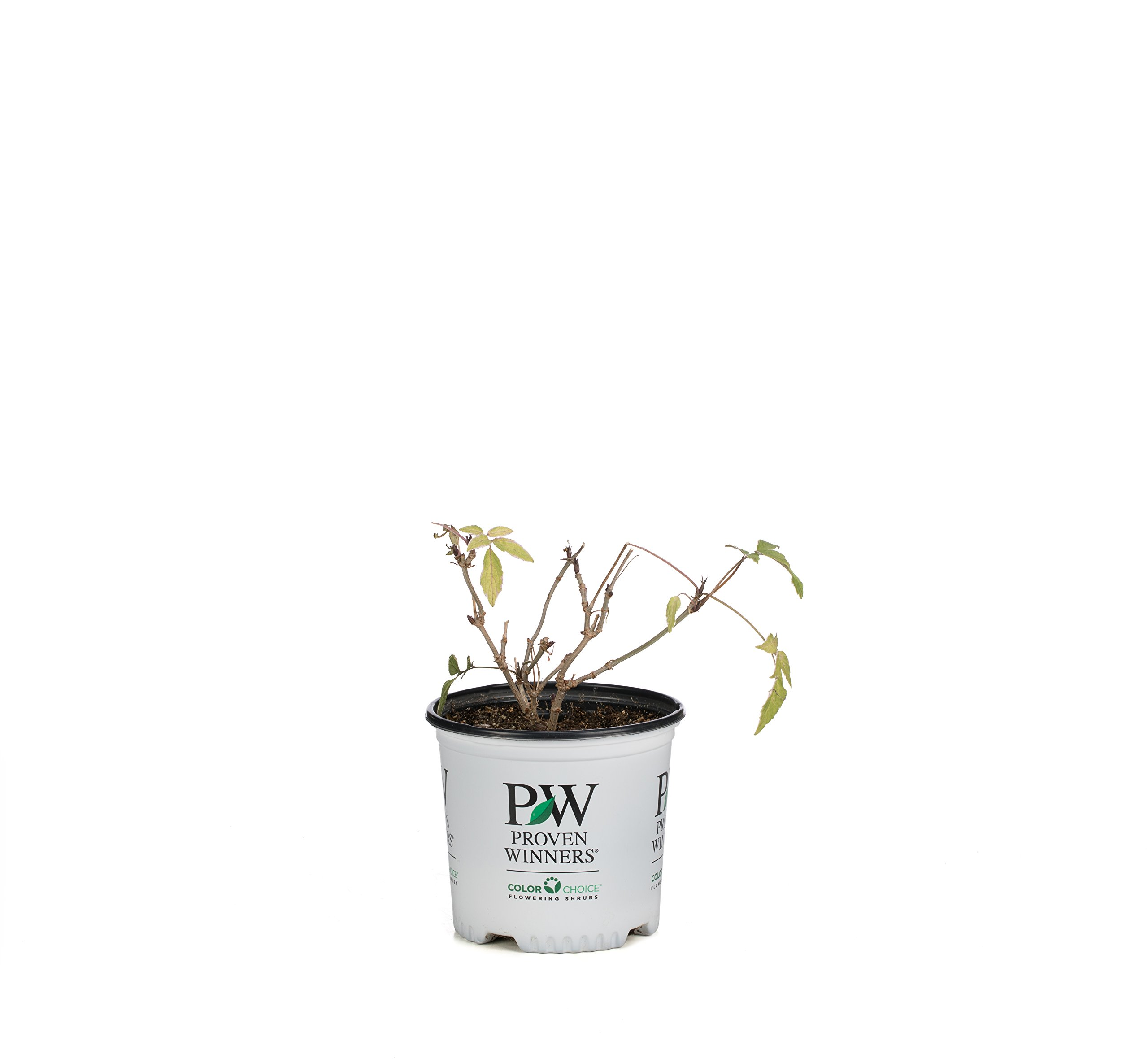 Instant Karma Elderberry (Sambucus) Live Shrub, White Flowers and Variegated Foliage, 1 Gallon by Proven Winners (Image #4)