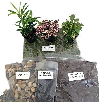 fairy garden kit. Terrarium/Fairy Garden Kit With 3 Plants - Create Your Own Living Terrarium Fairy