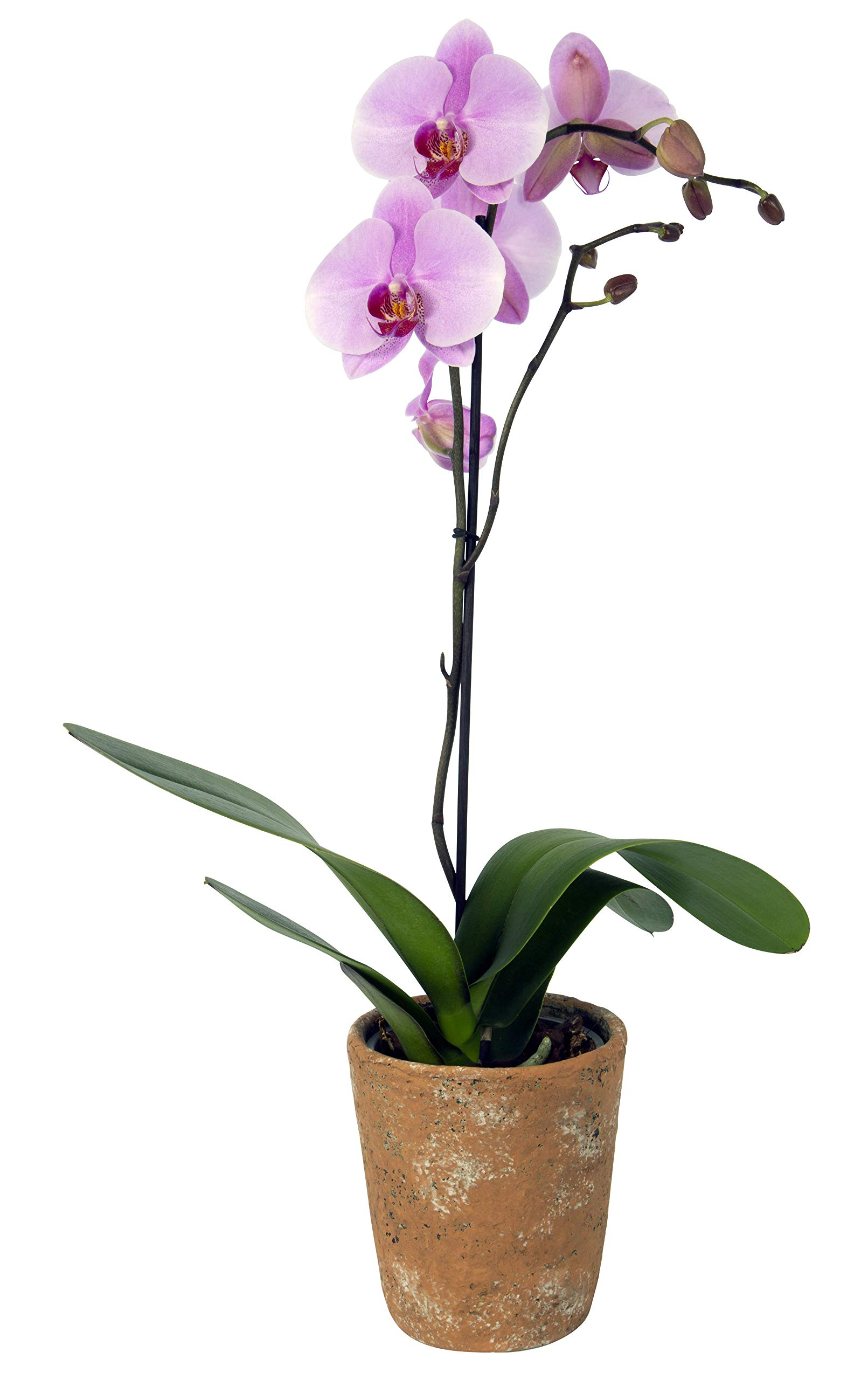 Color Orchids Live Blooming Single Stem Phalaenopsis Orchid Plant in Ceramic Pot, 20-24'' Tall, Pink Blooms