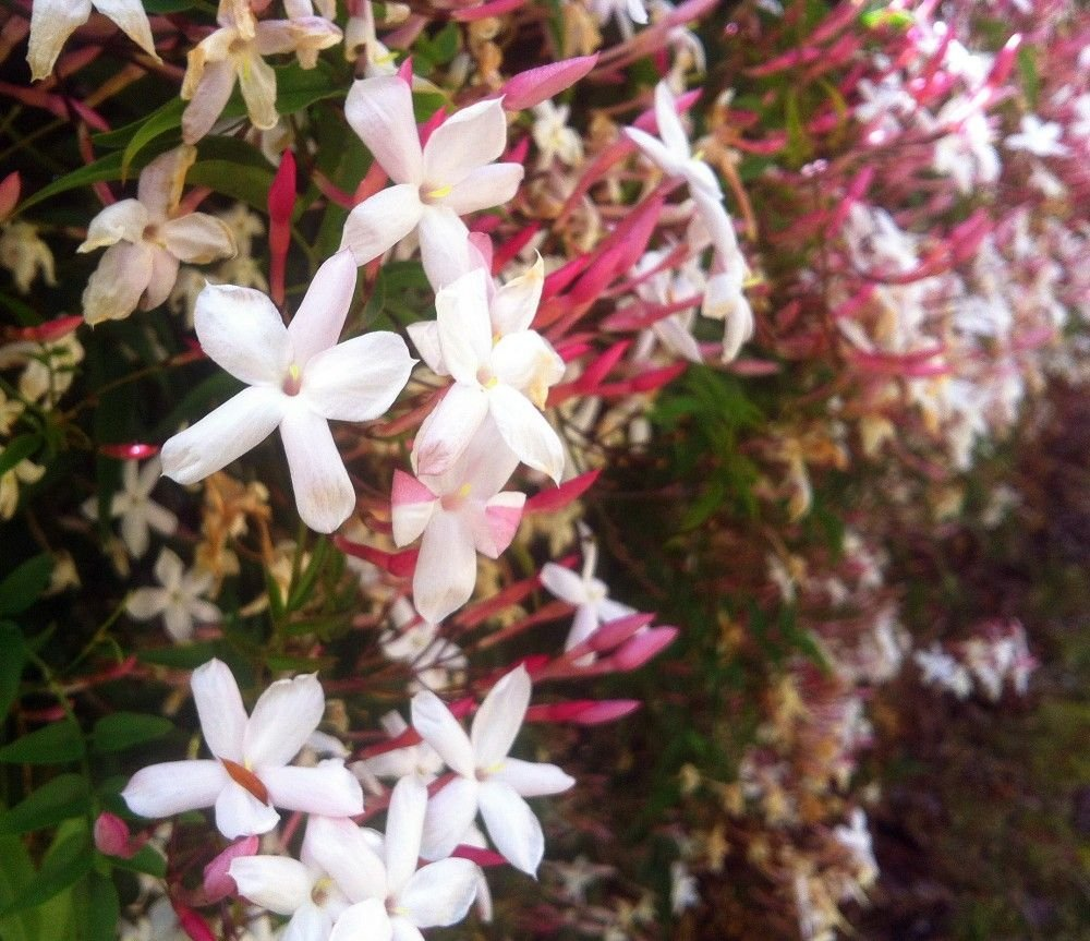 Jasminum polyanthum - Pink Jasmine plant in small pot.