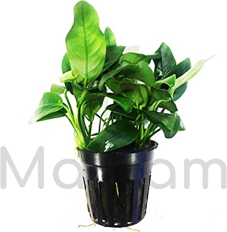 Anubias Nana Petite Full Potted Freshwater Live Aquarium Plants Barteri Bonsai