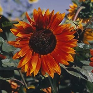 Autumn Beauty Sunflower Seed Mix 4 g - Non-GMO, Open Pollinated, Annual Sun Flower Gardening Seeds