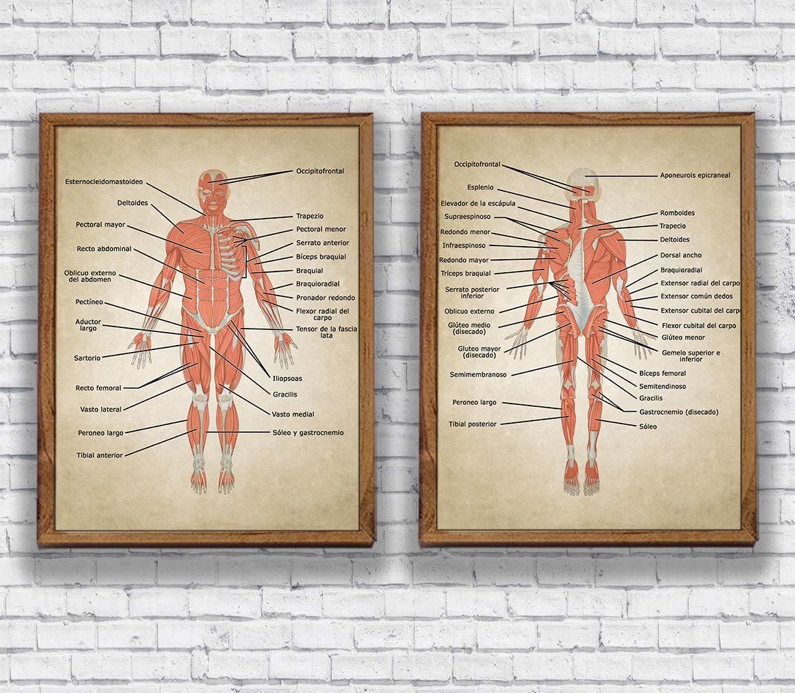 Amazon Vintage Human Anatomy Muscles System Body Map Pictures
