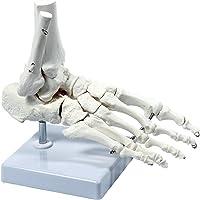 S24.3223 Esqueleto del pie derecho, tamaño real