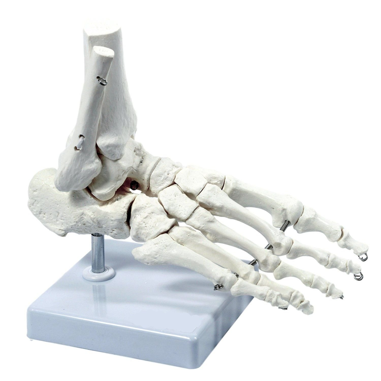 Wellden Medical Anatomical Human Skeleton Foot Model Life Size