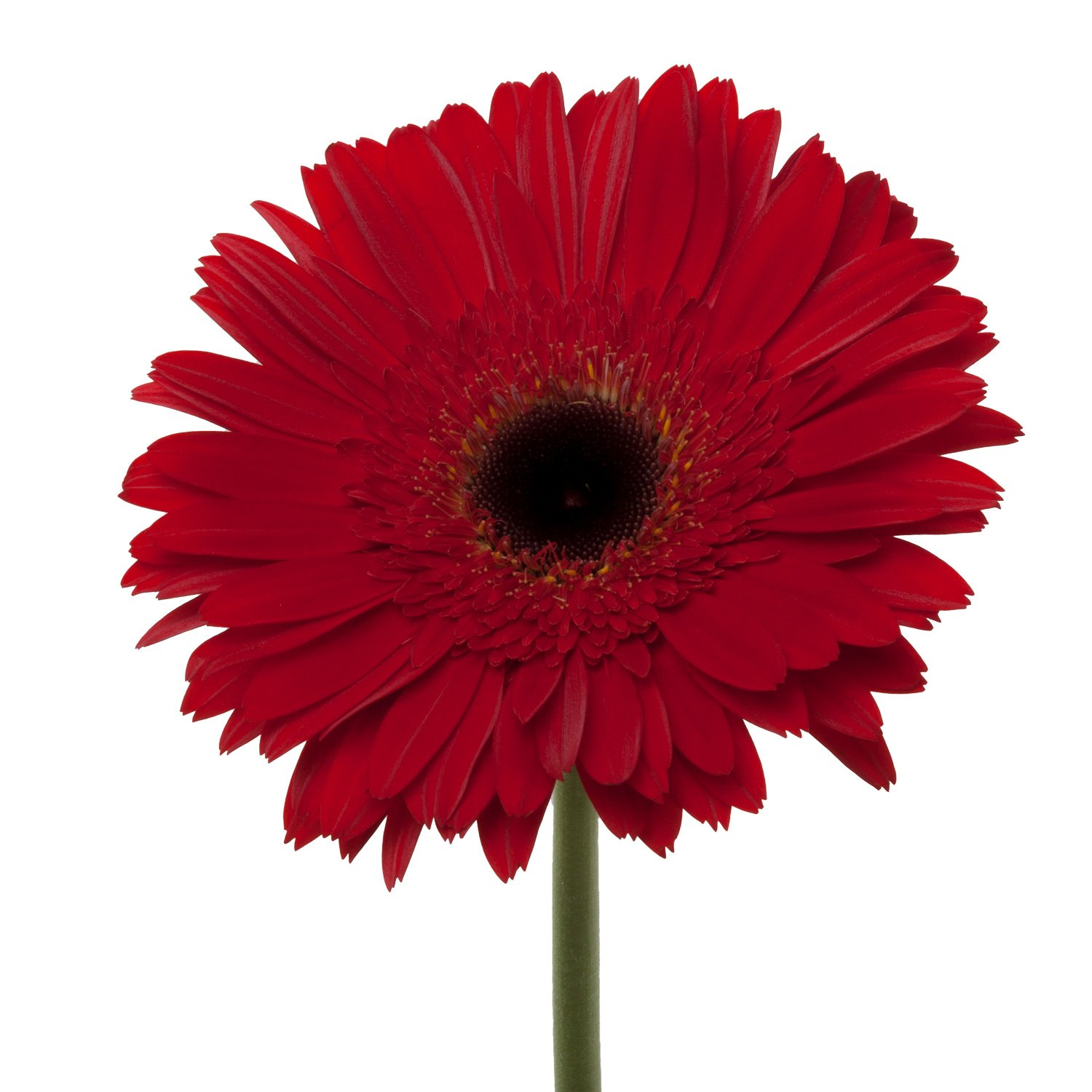Gerbera Dark Center | Red - 40 Stem Count by Flower Farm Shop