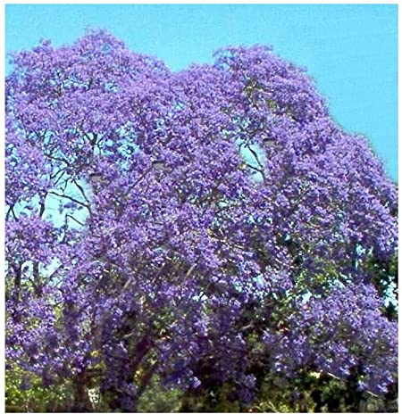 Jacaranda mimosifolia BEAUTIFUL TREE Seeds!