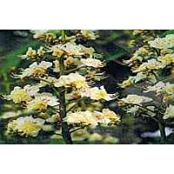 Amazoncom Ainsworths 10 Ml White Chestnut Bach Flower Remedy