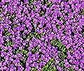 1000 Rock Cress Seeds Deer Resistant Aubrieta Hybrida Bulk Perennial Groundcover