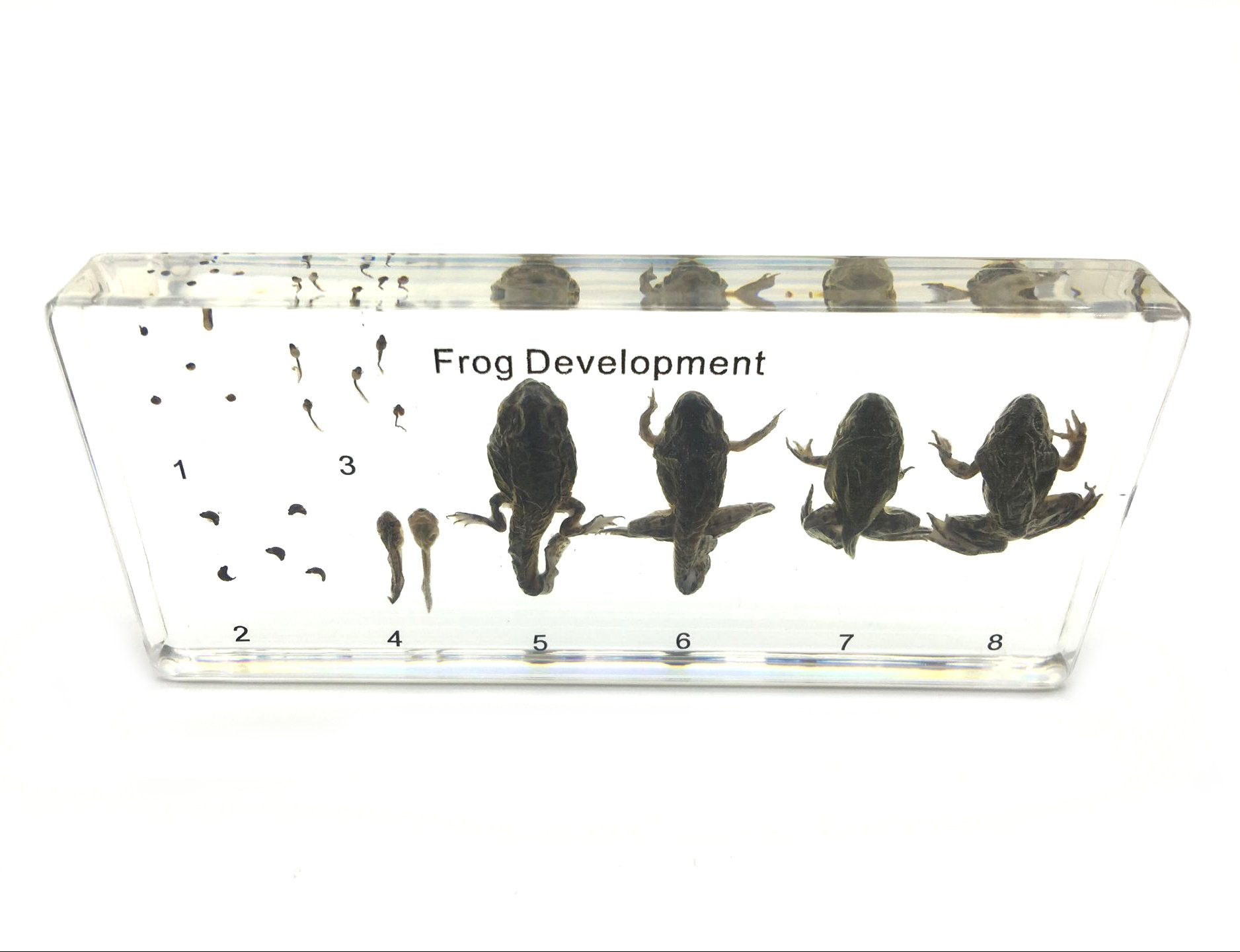 Amazingbug Lifecycle of a Frog Development Paperweight Science Classroom Specimens for Science Education