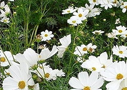 Amazon.com: Mercado raro 50 blanco común Cosmos Semillas de ...