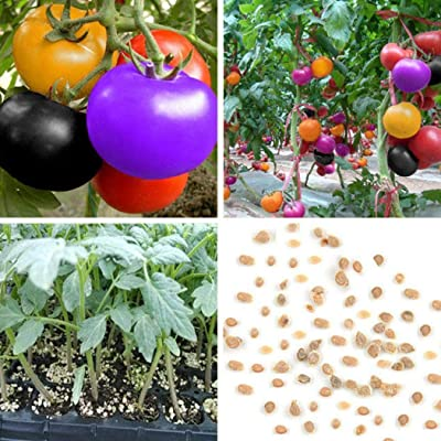 YENJO 100 Pcs/Bag Multicolor Tomato Seeds Home Garden Yard Vegetables Plant Seeds : Garden & Outdoor