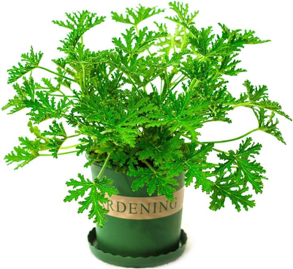 QR-BHRTY 100 Pieces Citronella Plant Seeds Mozzie Grass Mosquito Repellent Home Garden Bonsai