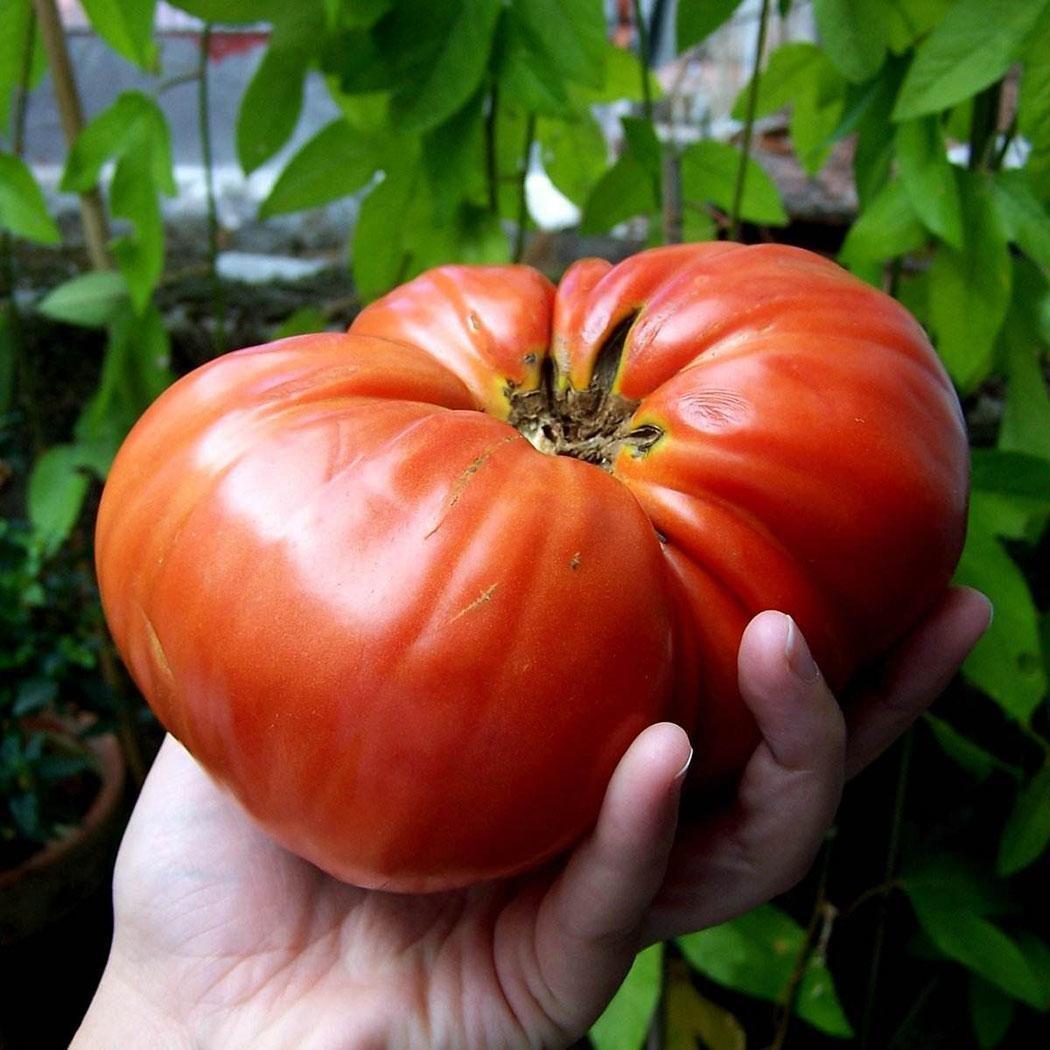 Japanischen Riesen Tomatensamen Bio Fleischtomate 1-2 Pfund pro Tomate Gem/üse Obst Samen ertragreich mehrj/ährig winterhart f/ür Garten Balkon//Terrasse Ultrey Samenshop