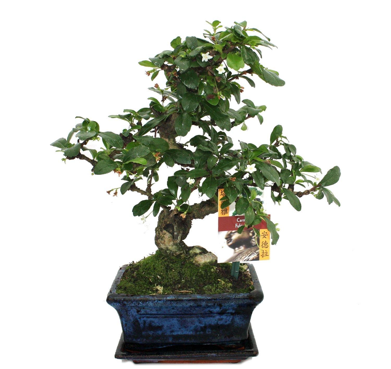 Bonsai Fukientee - Carmona microphylla - 6 years Exotenherz