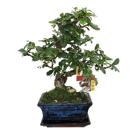 Exotenherz.de - Bonsai Carmona microphylla, 6 anni: Amazon.it ...