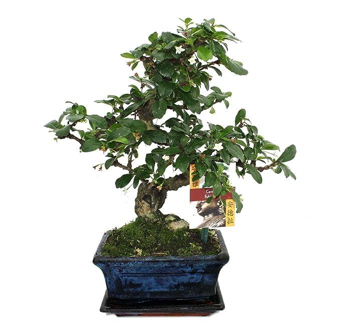 Bonsai Fukientee - Carmona microphylla - ca. 6 Jahre: Amazon.de: Garten