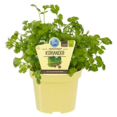 Coriander - 50 Seeds - A Very Popular and Well-Known Spice Plant : Garden & Outdoor