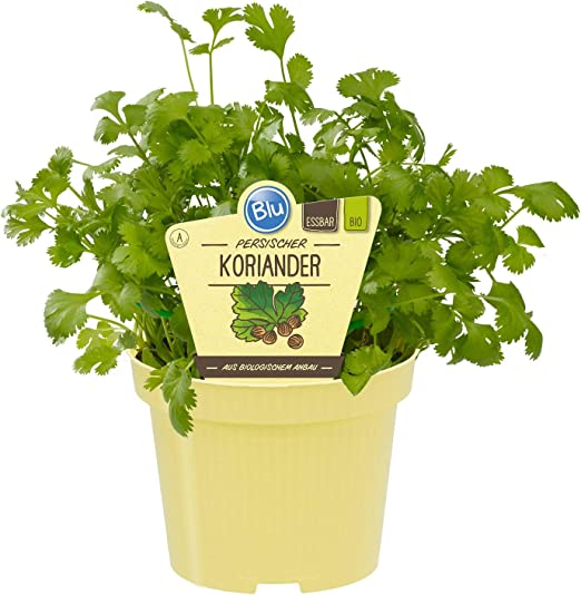 Cilantro - 30 semillas - Una planta de especias muy popular y ...