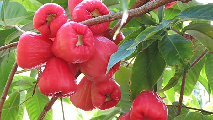 M-Tech Gardens 1 Healthy Rare Live Plant ' Rose Water Apple ' Tropical Tasty Fruit Seedling Plant