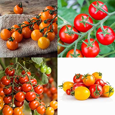 Escolourful 50pcs/Pack Cherry Tomato Seeds, Fruits Seeds for Home Garden Yard Plant : Garden & Outdoor