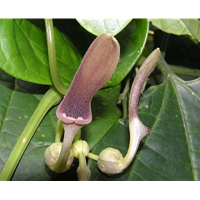 Aristolochia tagala   Indian Birthwort   50_Seeds : Garden & Outdoor