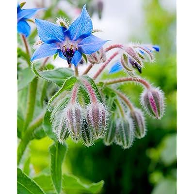 1660mg Organic Borage ~80 Seeds ~ Herbal Edible Blossoms Companion Oil Plant : Garden & Outdoor