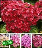 """BALDUR-Garten 5-Stufen Hortensie""""Together"""", 1 Pflanze Hydrangea macrophylla You&Me Together Gartenhortensie winterhart"""