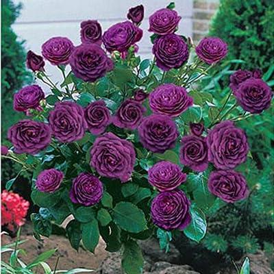 Queind Perennial Bonsai Mini Rose Tree Seeds Bonsai Plant Seeds Trees : Garden & Outdoor