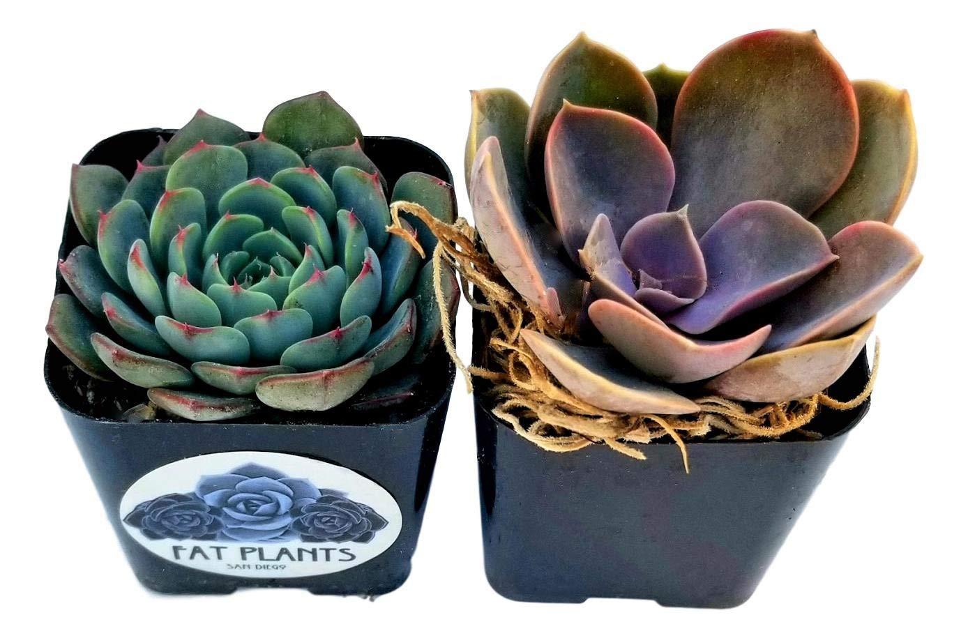 Fat Plants San Diego All Rosette Succulent Plants in 2 Inch Pots (2)
