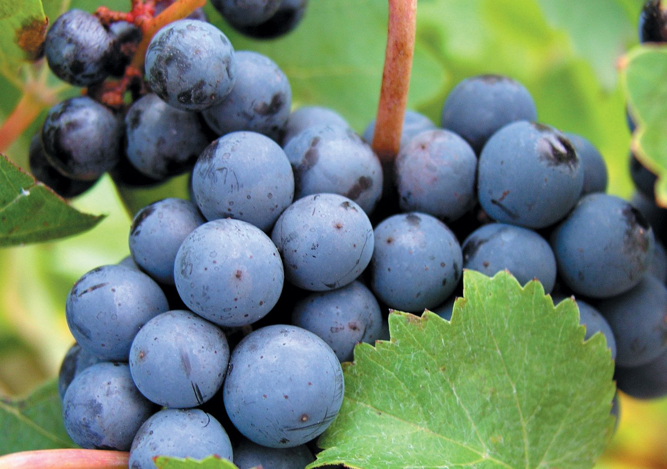 Cabernet Franc Grape Certified 10 Seeds #32010 Item UPC#637632549128 Produces a Very Aromatic red Wine SVI
