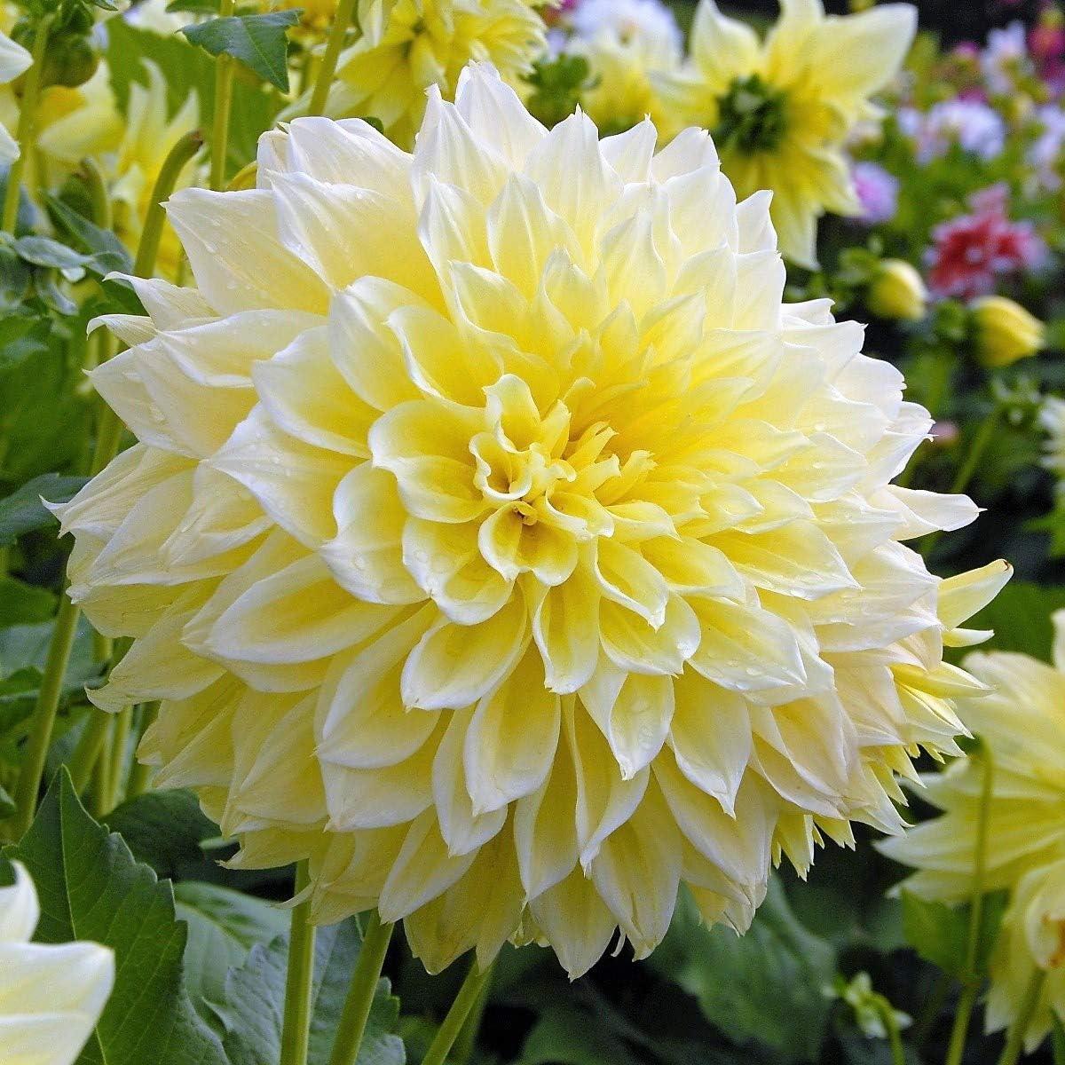 3 Humphreys Garden/® Dinnerplate Dahlia Kelvin Floodlight Tuber Pretty Yellow Flowers.Grade I